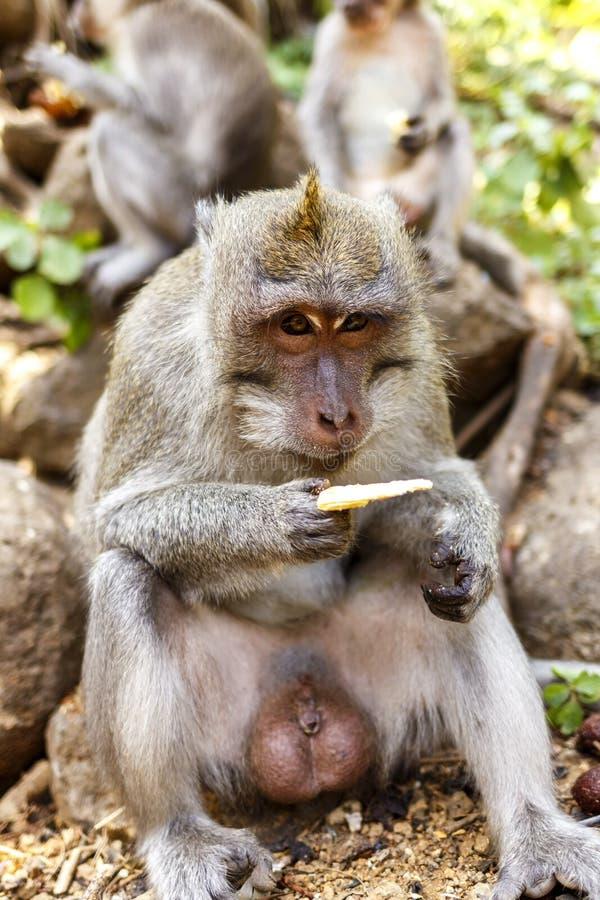 Macaques indonesios Habitante del bosque Monos sagrados de Bali del bosque Fascicularis del Macaca imagenes de archivo