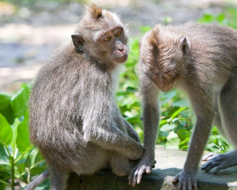 Macaques Long-tailed. l'Indonésie. photos libres de droits