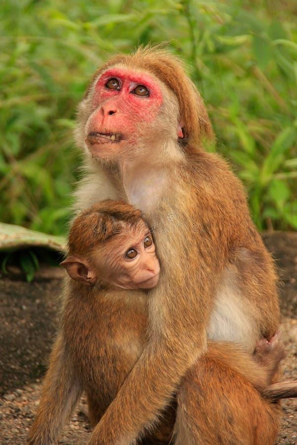 Macaques mãe e bebê do Toque que sentam-se no templo da caverna em Dambull imagem de stock