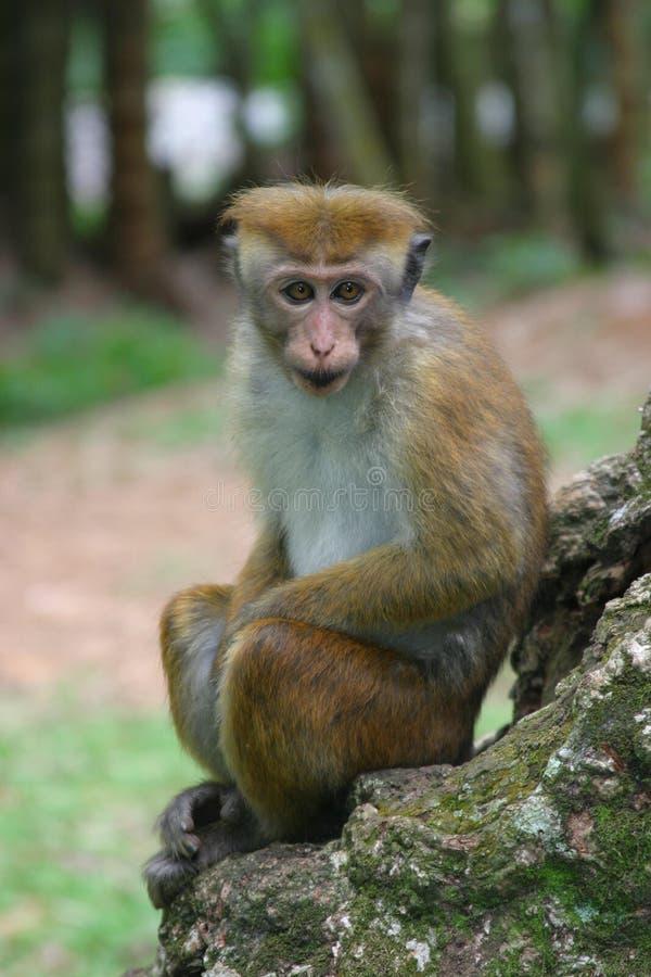 macaquetoque royaltyfri fotografi