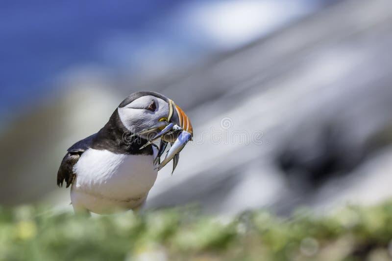 Macareux atlantique, atterrissage d'arctica de Fratercula sur le bord de falaise, sur la SK photos stock