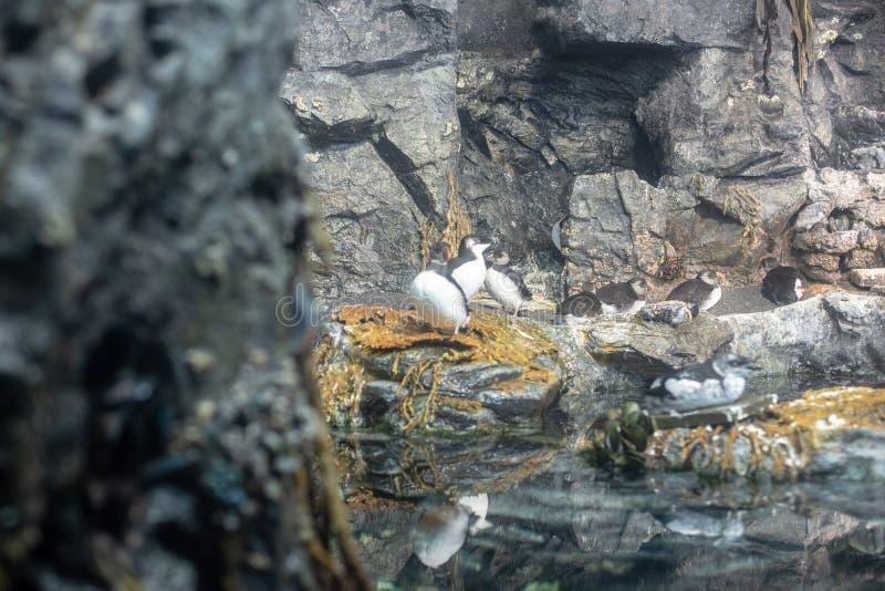 Macareux atlantiques et autres oiseaux arctiques se reposant sur une roche photos libres de droits