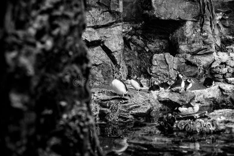 Macareux atlantiques et autres oiseaux arctiques se reposant sur une roche images stock