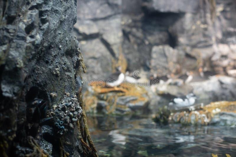 Macareux atlantiques et autres oiseaux arctiques se reposant sur une roche photographie stock libre de droits