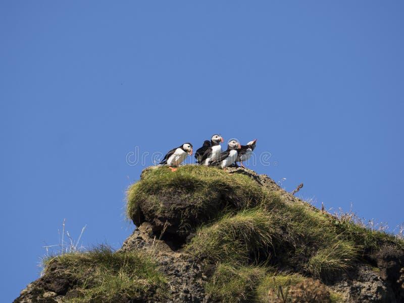 Macareux atlantiques nichant dans Dyrholaey, Islande images stock