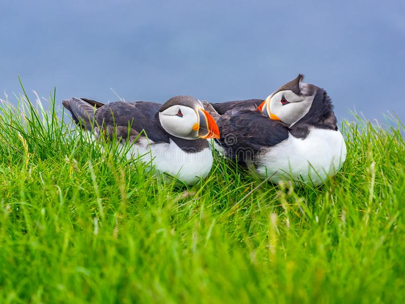 Macareux atlantiques se reposant sur l'herbe verte à la falaise de Latrabjarg photos libres de droits