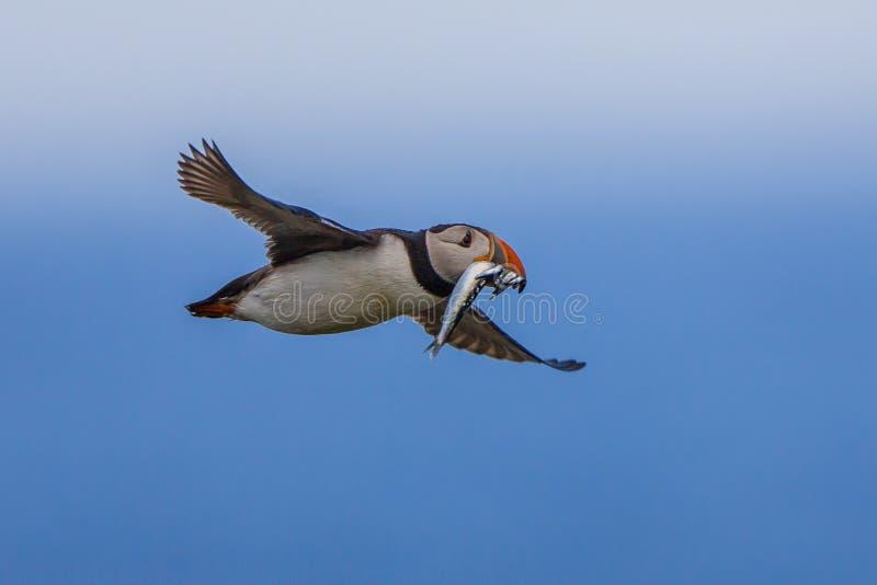 Macareux de vol avec des poissons image stock