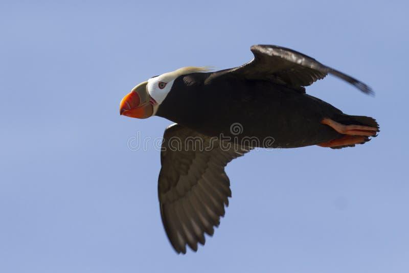 Macareux tufté volant au cours de l'été sans nuages d'île photographie stock