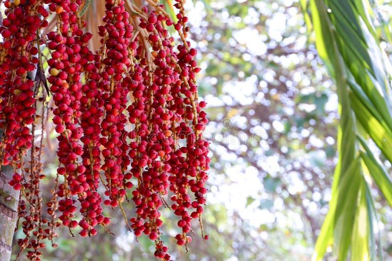 Macarthur与它的红色种子的棕榈树 免版税图库摄影