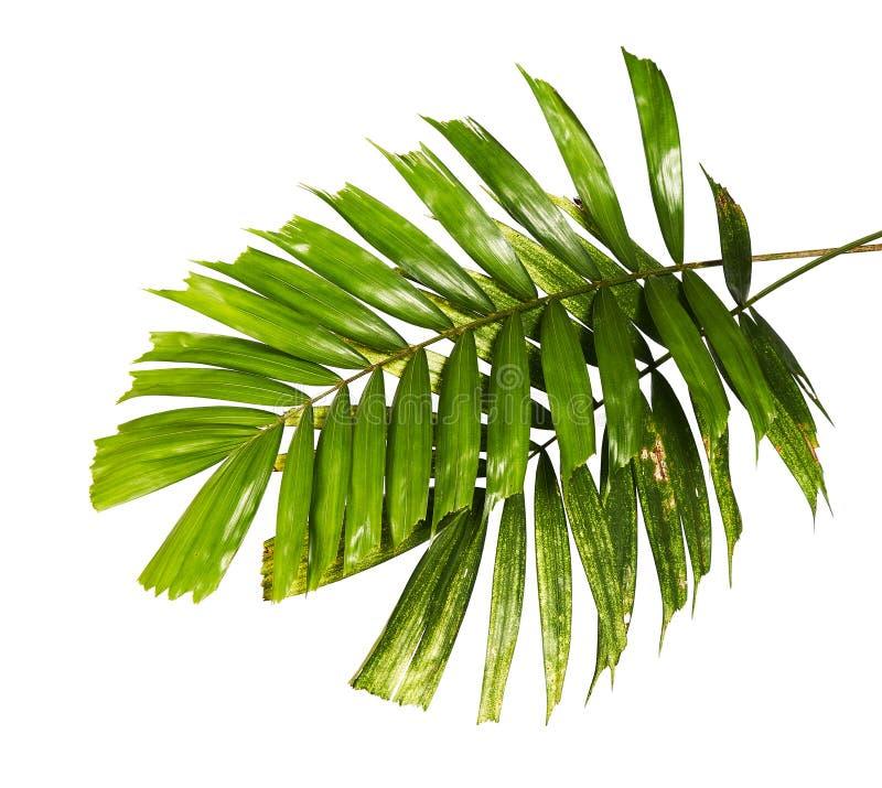 Macarthur棕榈叶或Ptychosperma macarthurii,在与裁减路线的白色背景隔绝的热带叶子 免版税库存照片