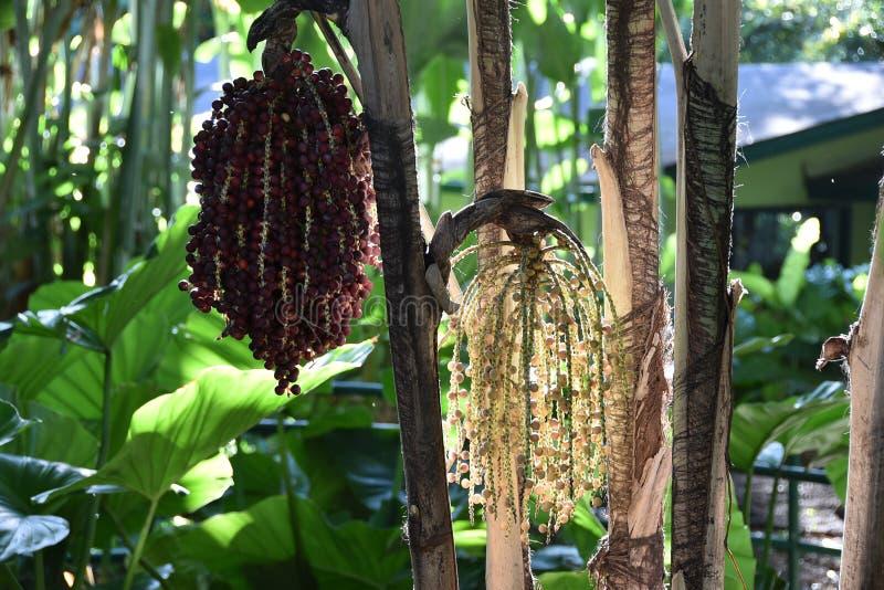 macarthur棕榈 库存照片