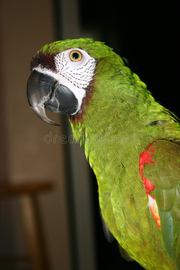 macaw παπαγάλος στοκ εικόνα με δικαίωμα ελεύθερης χρήσης