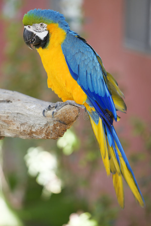 macaw παπαγάλος στοκ φωτογραφίες