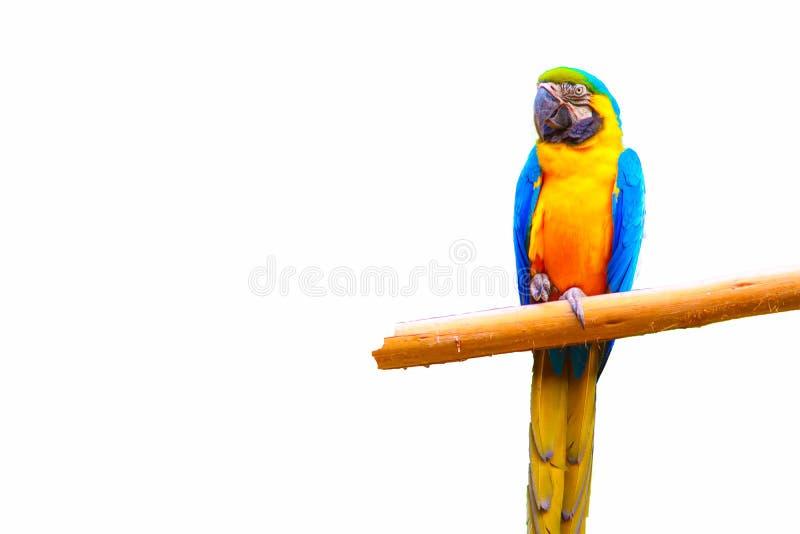 Macaw που απομονώνεται στο άσπρο υπόβαθρο στοκ εικόνες