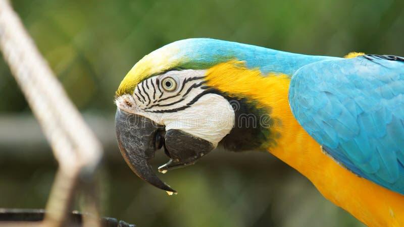 Macaw στο πράσινο υπόβαθρο στην του Εκουαδόρ Αμαζώνα Κοινά ονόματα: Guacamayo ή Papagayo στοκ εικόνες