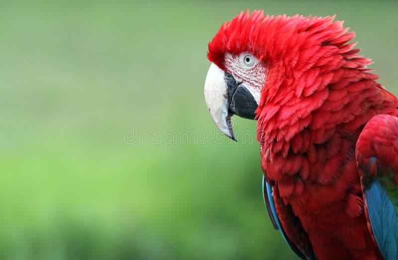 Macaw 01 foto de archivo libre de regalías