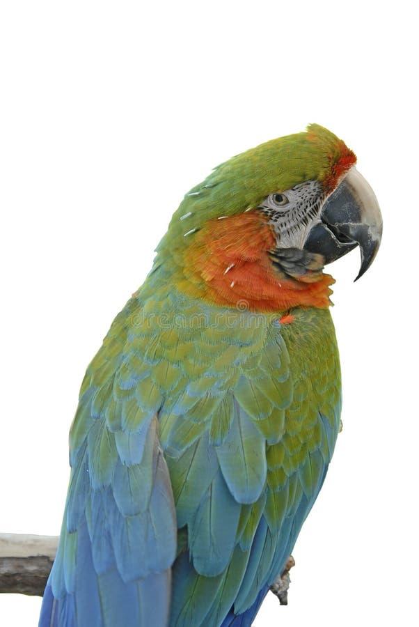 Macaw 01B lizenzfreie stockfotos