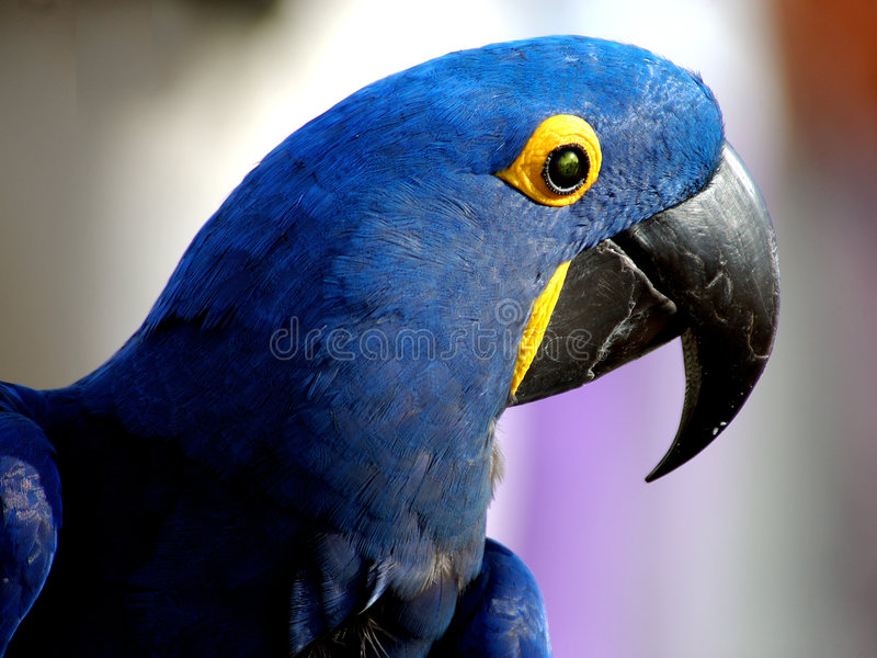 Macaw 1 D Indigo Photos stock