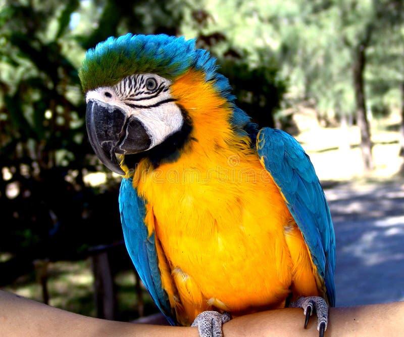Macaw lizenzfreie stockfotografie