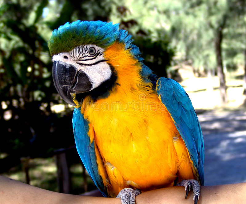 Download Macaw στοκ εικόνα. εικόνα από απόσπασμα, εκθέστε, χρωματισμένος - 103497