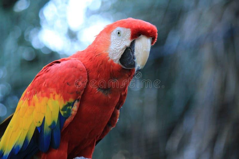 Πουλί, Macaw, παπαγάλος, ράμφος στοκ εικόνα με δικαίωμα ελεύθερης χρήσης
