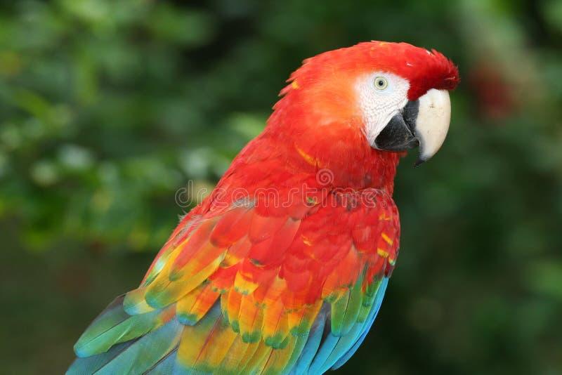 Macaw immagini stock libere da diritti