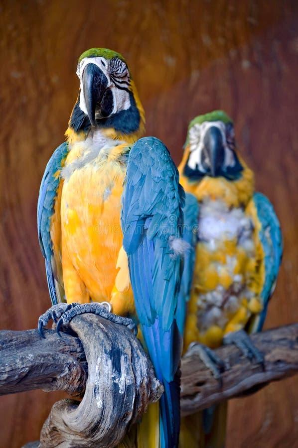 Download Macaw stock photo. Image of beak, animal, wildlife, wild - 17495726
