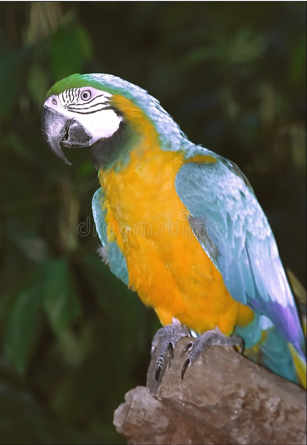 Free Macaw Royalty Free Stock Image - 18676