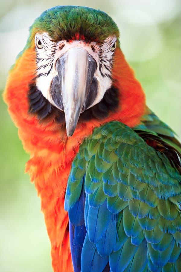 Macaw fotos de stock