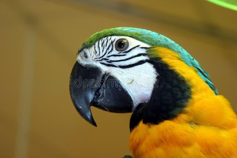 Macaw 2 immagini stock libere da diritti