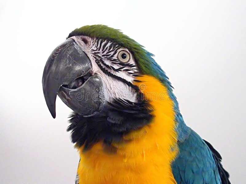 Macaw 2 dell'oro & dell'azzurro immagini stock libere da diritti