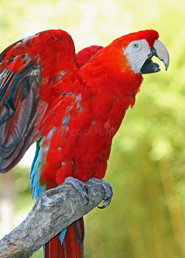 Macaw fotografia stock