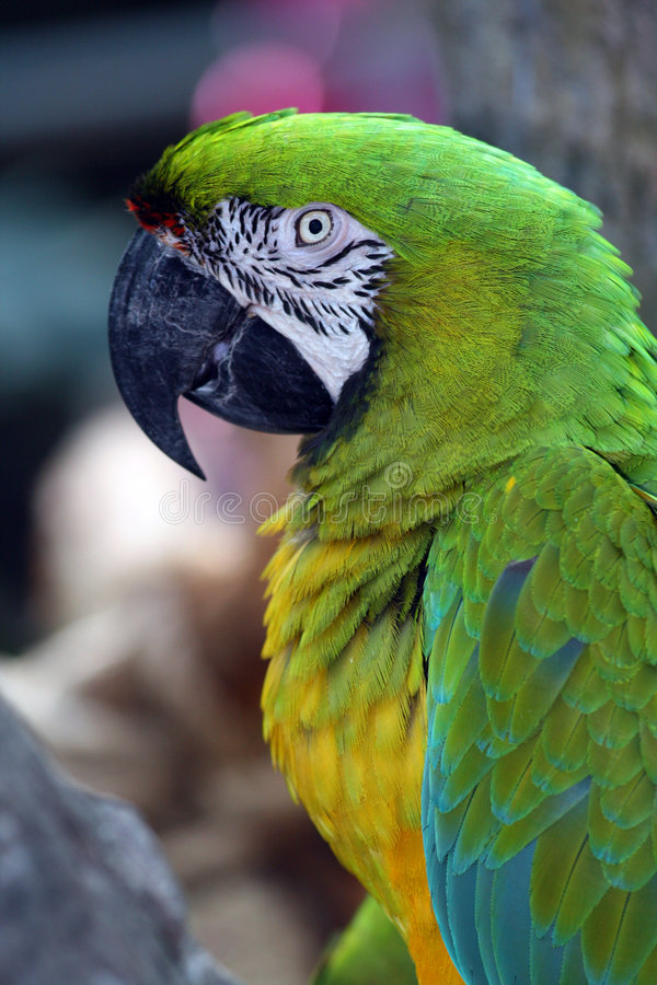 Macaw. A very colorful, friendly and playful Macaw royalty free stock photo