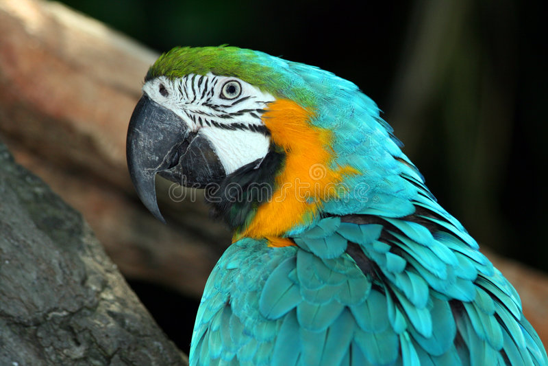 Macaw fotografia de stock royalty free