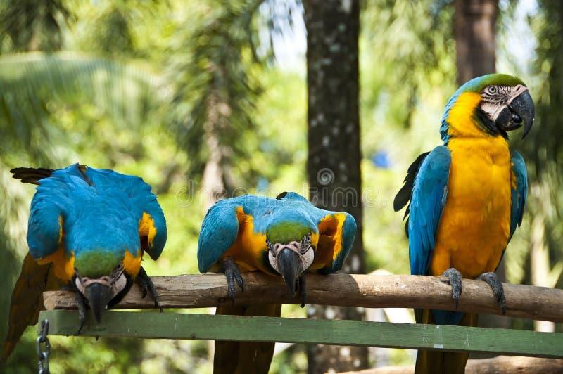 Macaw. στοκ εικόνα