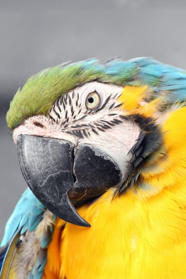 Macaw photos stock
