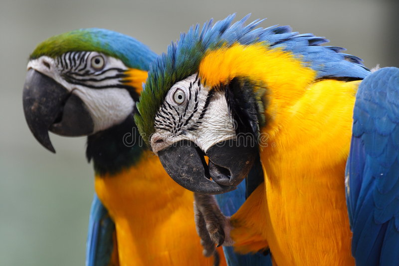 Macaw. Two macaw parrots - close up royalty free stock photos