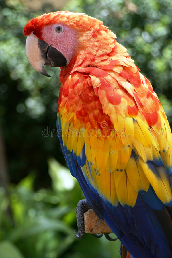 Macaw. Sitting on a branch stock image