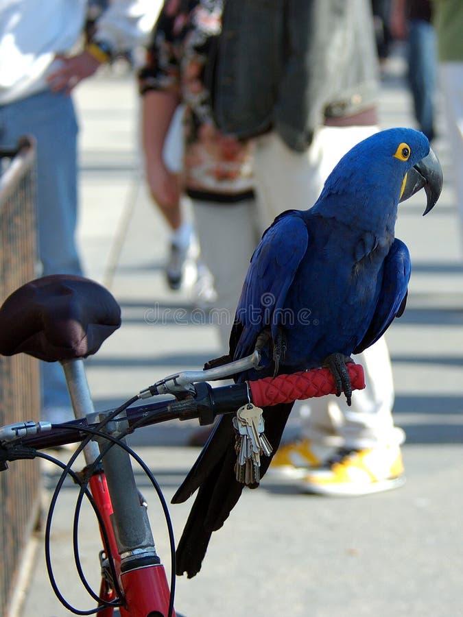 Macaw 6 индиго Стоковое Фото