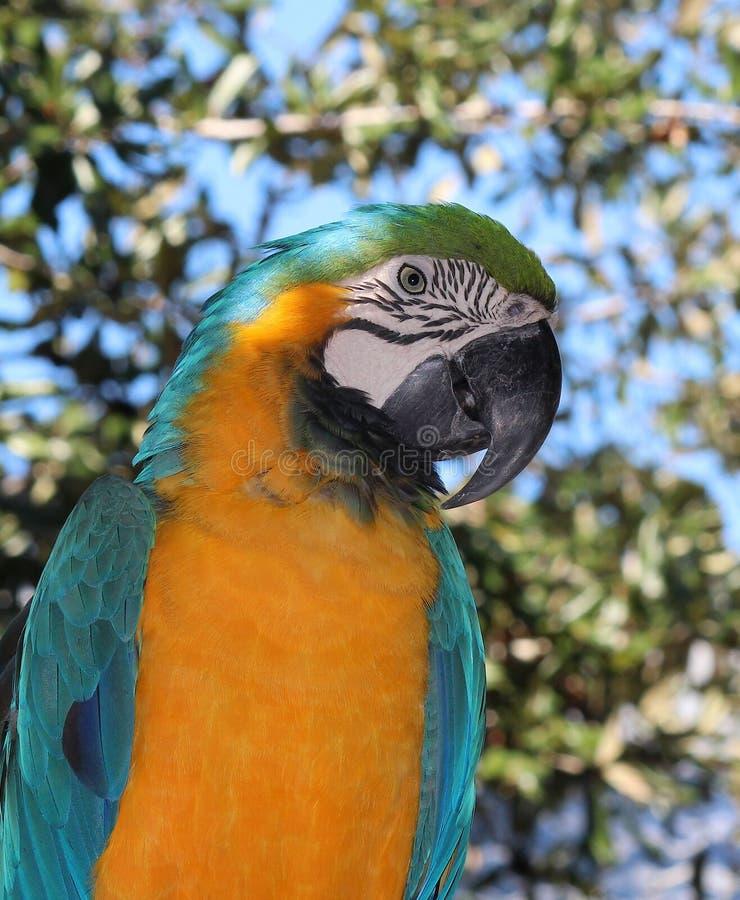 macaw royaltyfria foton