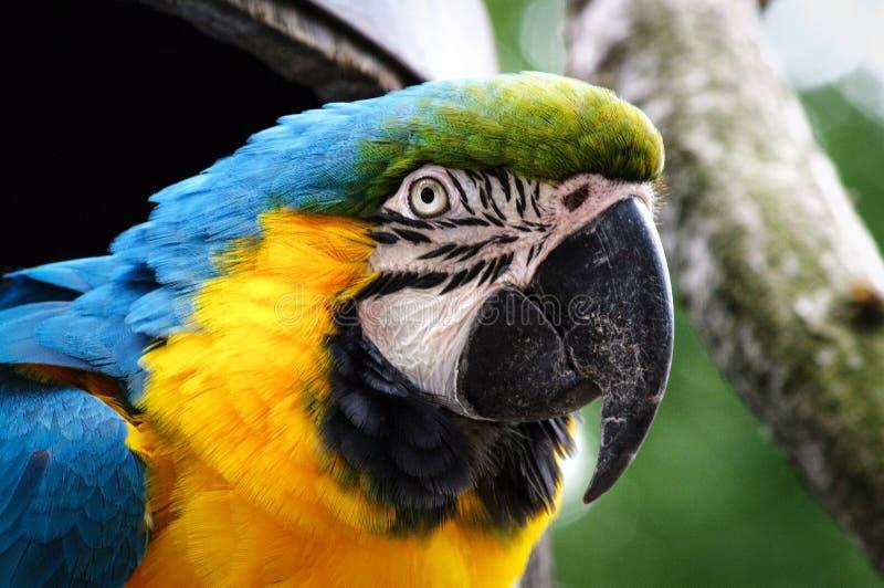 macaw image libre de droits