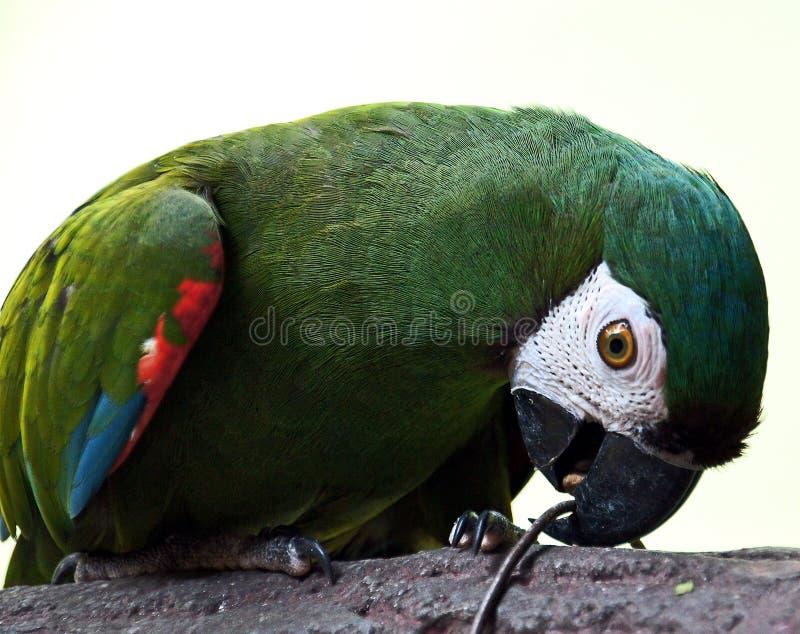 Αυστηρό Macaw στοκ εικόνες