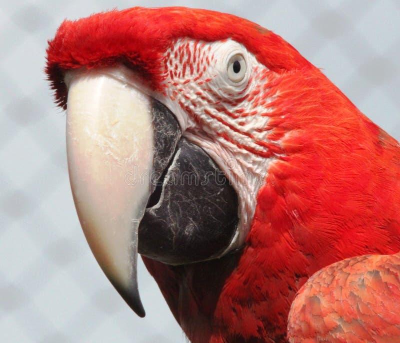 Πουλί, ράμφος, Macaw, παπαγάλος στοκ εικόνα με δικαίωμα ελεύθερης χρήσης