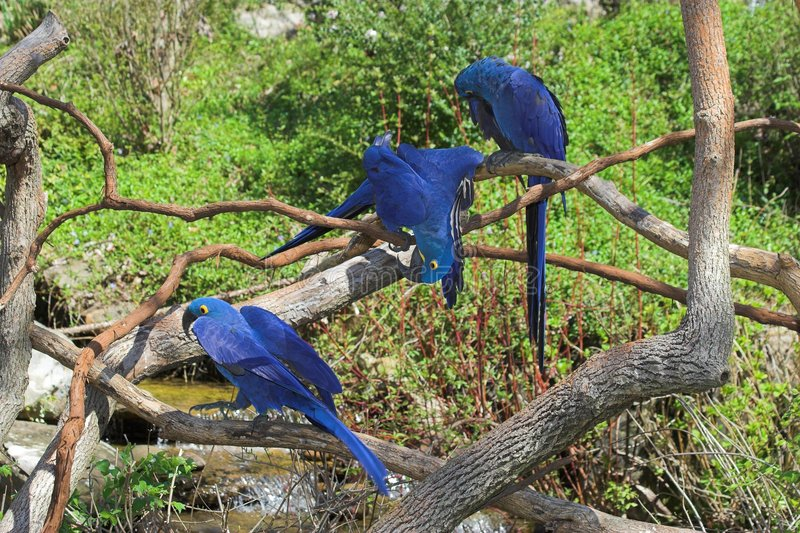 Macaw & amigos do Hyacinth