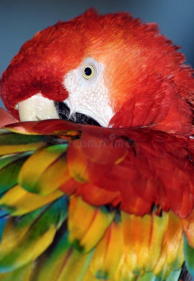 Macaw (Ara Macao) fotografia stock libera da diritti