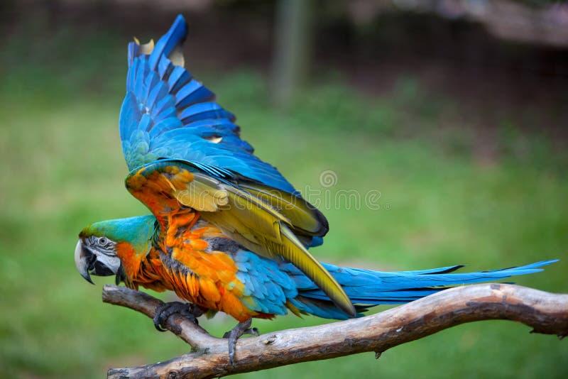 Macaw azul e amarelo fotos de stock