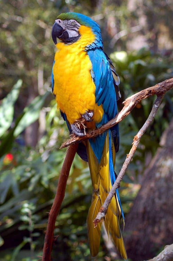Macaw azul y amarillo fotos de archivo libres de regalías