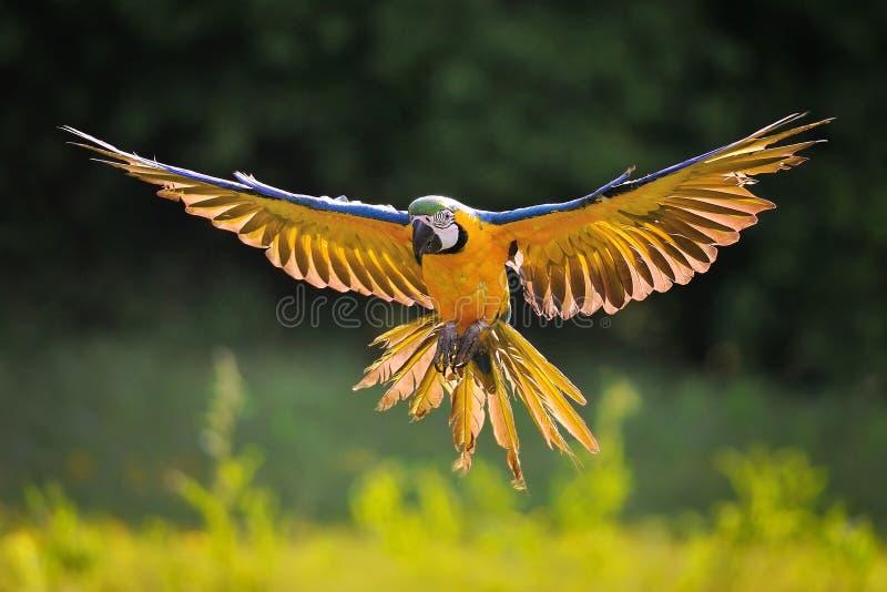 Macaw azul-y-amarillo de aterrizaje - ararauna del Ara en contraluz imagen de archivo libre de regalías