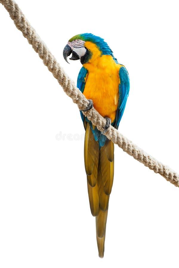 Macaw azul y amarillo en una cuerda foto de archivo libre de regalías