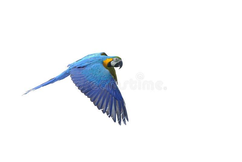 Macaw azul-y-amarillo que vuela aislado - ararauna del Ara fotos de archivo